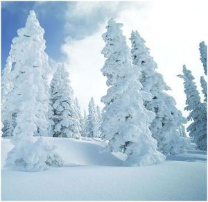 Sapins sous la neige à la Plagne